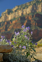 Columbine, Grand Canyon National Park, Arizona