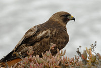 Red-tailed hawk, Newport Beach, California