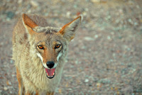 Coyote, Death Valley National Park, California