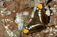 Arizona sister butterfly in Cave Creek, Chiricahua Mountains, southeastern Arizona