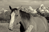 Horse in Antelope Flats, Grand Teton National Park, Wyoming