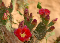 Prickly pear flowers, Bright Angel Trail, Grand Canyon National Park
