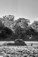 Elephant crossing Kafue River, Zambia
