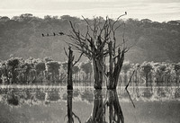 Cormorants, the flooded forest, Rio Negro, Amazon Rainforest, Brazil