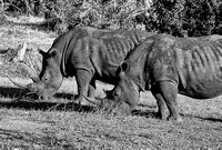 White rhinos, Mosi-ao-Tunya National Park, Zambia: both later shot in June 2007 (one survived)