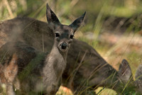Coues white-tailed deer, Ramsey Canyon Preserve, Arizona