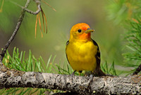 Western tanager, Grand Teton National Park, Wyoming