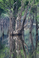 Flooded forest of the Rio Negro, Amazon Rainforest, Brazil