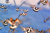 Ruddy turnstones in flight, Delaware Bay